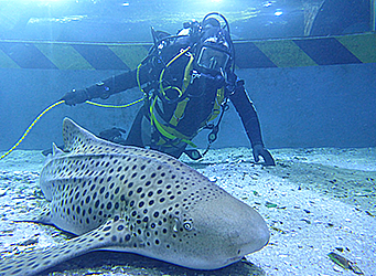 Aquarium diver with shark
